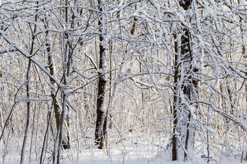 Winter landscape snow thicket forest