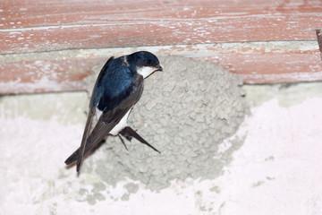House Martin (Delichon urbica).Wild bird in a natural habitat.