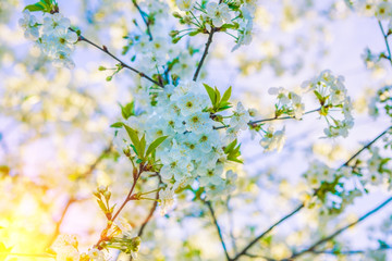 composition of blossoming branches cherry tree on blurred sky ba