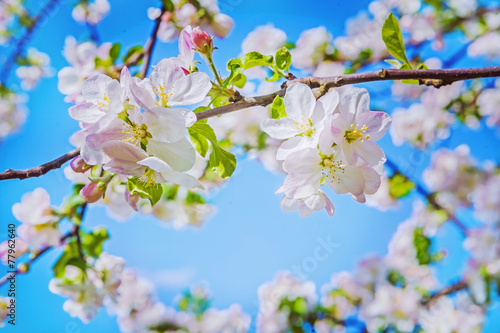 two flovers of blossoming appl tree on blurred background instag