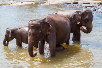 Elephants bathe in the river