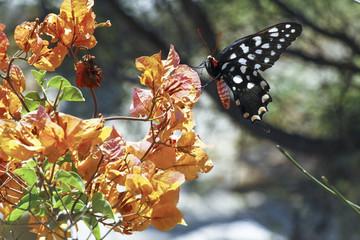 Butterfly-Papilio Pharmacophagus Antenor, Madagascar