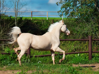 running cream horse in paddock