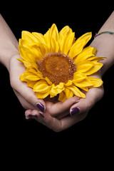 Female hands holding sunflower