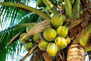 coconut fruits grow on tree