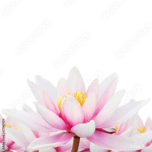 Foto op Canvas Lotusbloem Lotus isolated
