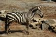 Obrazy na płótnie, fototapety, zdjęcia, fotoobrazy drukowane : Zebra, Burchell's  (Equus Burchellii)