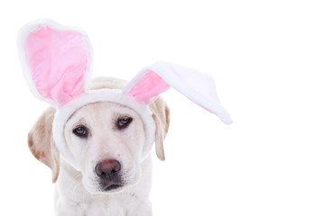 Easter bunny dog in bunny ears