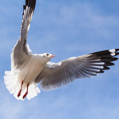 Seagull flying on blue sky background