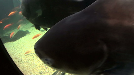 Giant catfish swimming and gliding underwater.