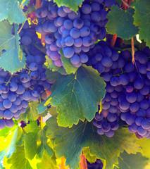 Close-up of vineyards plantation