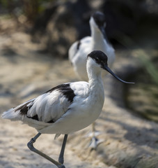 long-nosed bird