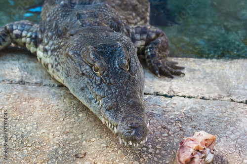Foto op Plexiglas Krokodil Crocodile at dinner