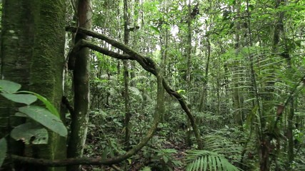 Walking through a tangle of lianas in rainforest