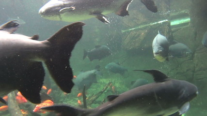 Pacu fish swimming and gliding underwater.