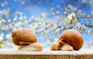 garden snails closeup flowering cherry spring background