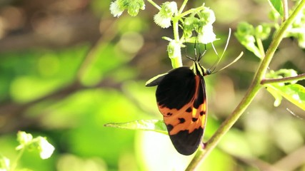 Large heliconid butterfly sucking nectar from tropical flowers