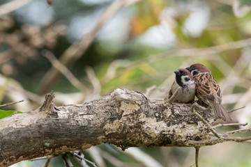sparrow couple on the tree