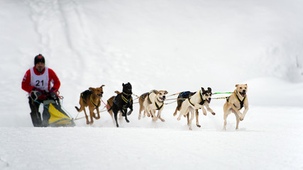 Sleddog speed racing