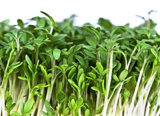 Salad Cress