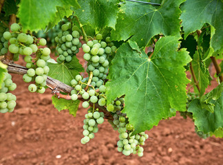 A grape cluster ripening on the vine.