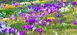 Krokusse und Schneeglöckchen im Frühjahr - 77979202