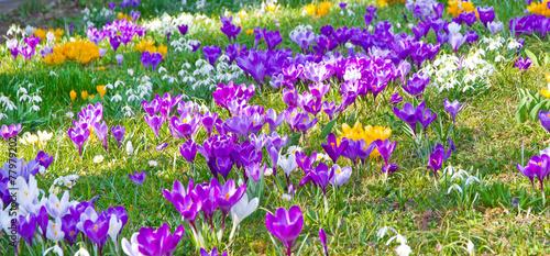 Obraz na Szkle Krokusse und Schneeglöckchen im Frühjahr
