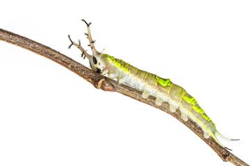Close up of common Pasha caterpillar
