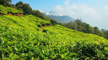 mountain tea plantation in Munnar Kerala India