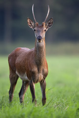 Red deer in the wild in the forest