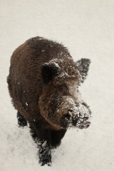 Wild boar, pig. winter.  vintage paper background (toned).