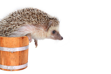 Little hedgehog in wooden bucket.