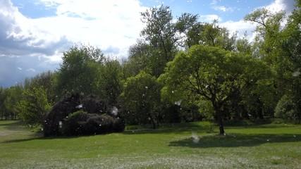 Summer snow of blooming cottonwood tree in wind