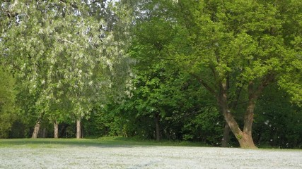 Summer snow of blooming cottonwood tree in little breeze