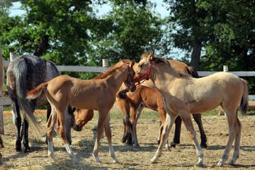 Haflinger horses standing in paddock