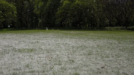 Summer snow of blooming cottonwood tree on a flowery meadow