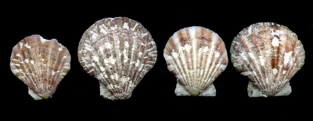 Seashell bivalves