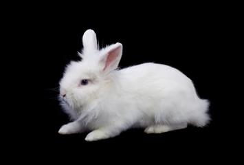 White rabbit isolated on black
