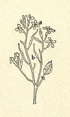 Wild radish (Raphanus raphanistrum)