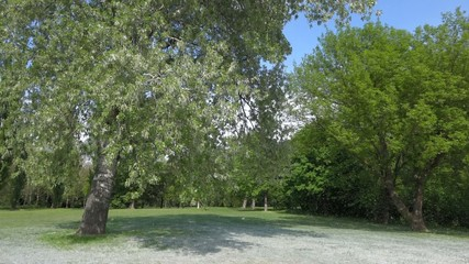 Blooming cottonwood tree and summer snow in little breeze