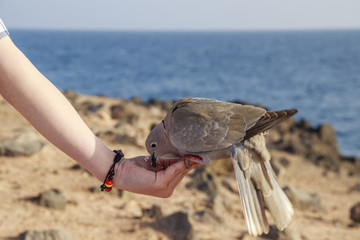 Collared Dove feeding from a hand