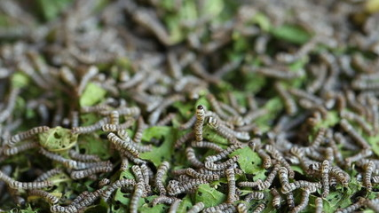 silkworms with mulberry leaves on the woven basket