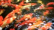 Koi fishes feeding in a pond. Close up. HD. 1920x1080
