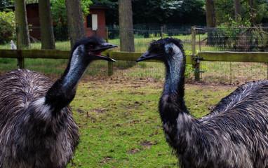 Australian ostrich Emu
