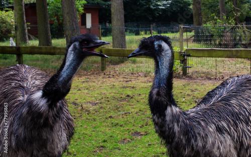 Plexiglas Struisvogel Australian ostrich Emu