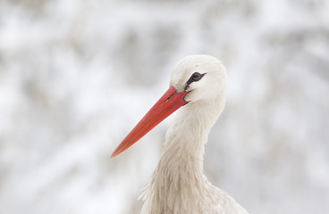 White stork head