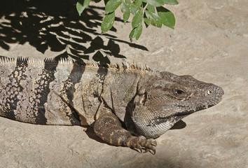 Schwarzleguan auf der Halbinsel Yucatan