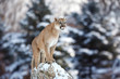 Portrait of a cougar, mountain lion, puma, panther, pose of the hunter