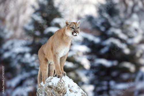 Zdjęcia na płótnie, fototapety na wymiar, obrazy na ścianę : Portrait of a cougar, mountain lion, puma, panther, striking a p