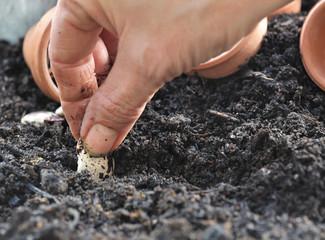 semer graine d'haricot